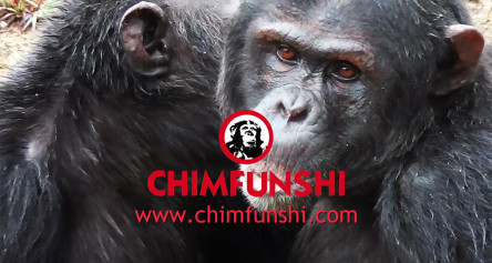 CHIMFUNSHI – gives a home to chimpanzees in need