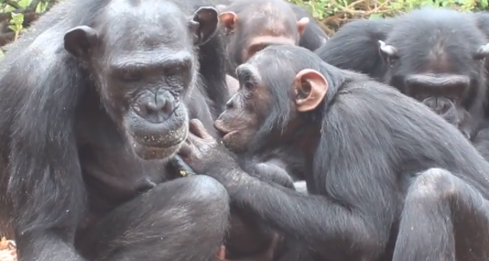Chimpanzee is stealing milk
