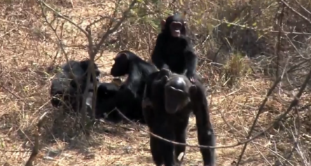 Chimp riding on his mother back