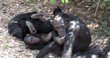Chimps playing and grooming